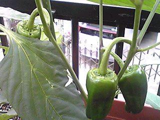 ミニ家庭菜園が急に元気に成ってきました♪