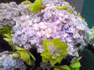 緑色のアジサイ(紫陽花)?