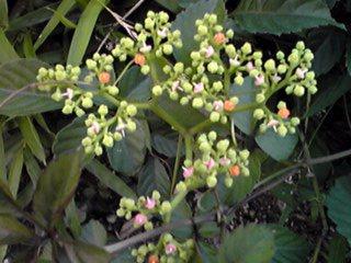 ヤブガラシ(ビンボウカズラ)小さな花