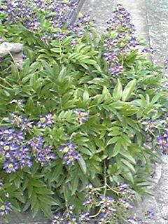 サッコウフジ(ムラサキナツフジ・タイワンサッコウ)は上を向いて咲く夏の藤