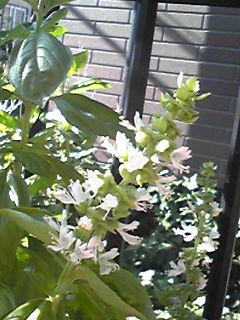 バジルの花が咲き始めています!&直さん(高橋直純)KBS京都(ラジオ)「M10+」のパーソナリティ出演!