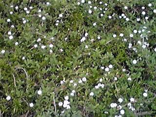 白くて、小さくて、強いお花