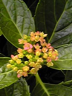 アジサイ(紫陽花)にちょっと違った花芽の様なものが…?