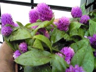 今朝のお花はセンニチコウ(千日紅)