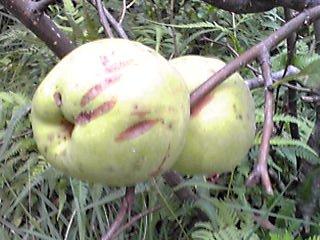 秋は実りの季節!なので、散歩で見つけた身近な木の実3種を!(喉に良いらしいよ!)