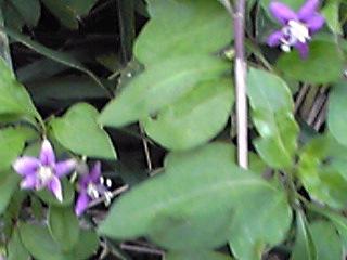 クコ(枸杞)の花が咲いていました!