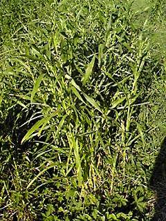 里山散歩で見かけたイネ科の植物(チカラシバ・ジュズだま)