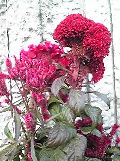 ケイトウ(鶏頭、ケイカンカ)の花