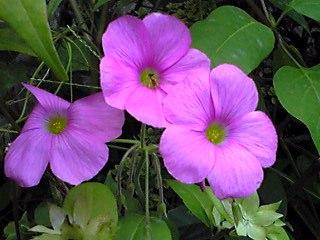 一際そのピンク色が目立つオキザリス