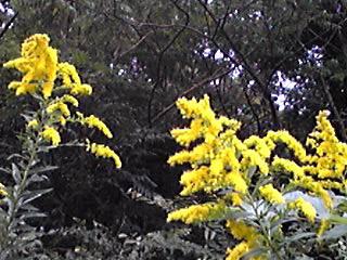 セイダカアワダチソウの見事な咲きっぷり!