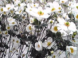 シュウメイギク(秋明菊)の花束