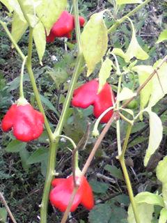 お花畑の赤い実