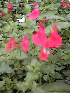チェリーセージ(サルビア・ミクロフィラ)は小さく元気な庭の妖精♪