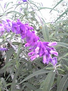 アメジストセージのフワフワの花が咲く時期