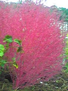 コキア(ホウキグサ、ホウキギ)の紅葉