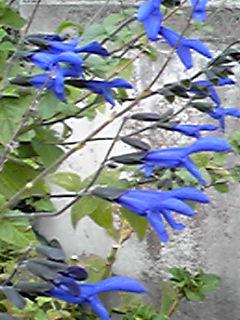 メドーセージ(サルビア・グァラニテァカ)の花