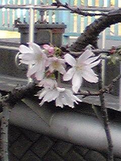 ジュウガツザクラ(十月桜)が、ぽつぽつと…
