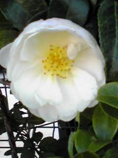 サザンカ(山茶花)の見事な八重咲き