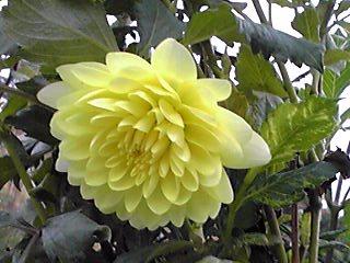 ダリアの種類ってお花の園芸品種の中でも一番多いらしいですよ!