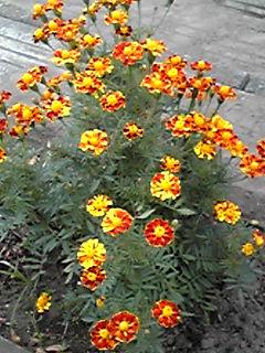 フレンチマリーゴールド(紅黄草、孔雀草、万寿菊)もよく咲き続ける花
