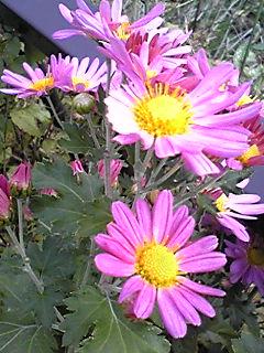 キク(菊)の花が賑やかに咲き始めていますね〜!?