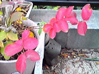 ちょこっと写った昨日の満月と今年の鉢植えサルスベリ(百日紅)のちょこっと紅葉