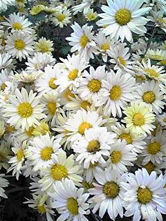 キク(菊)の花いろいろ