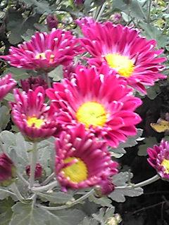 キク(菊)の花いろいろ その2