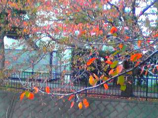 いつもの河原の桜並木は紅葉の華に♪