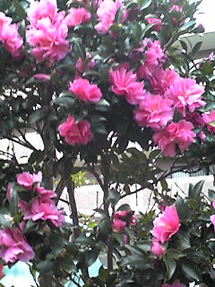 サザンカ(山茶花)は永遠の愛
