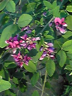ちょっと遅めのハギ(萩)の花