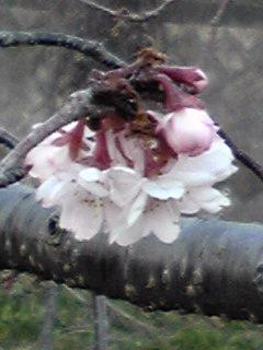 あの十月桜はずっと咲き続けていますよ♪