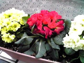 夕方になって、お花も何事も無かったかのように…♪