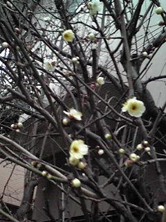 ちらほらと…梅の花