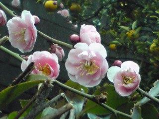 枝垂れ梅が咲きはじめました