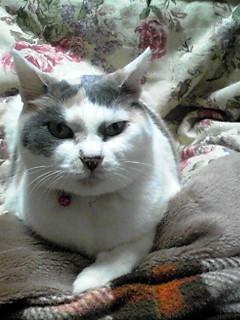 コタツ猫?そしてファンヒーター猫?(にゃー姫)
