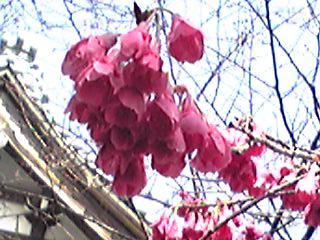 カンヒザクラは可愛い釣り鐘状のお花