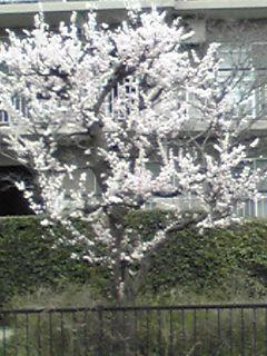 アンズ(杏、杏子、アプリコット)の花も満開です!