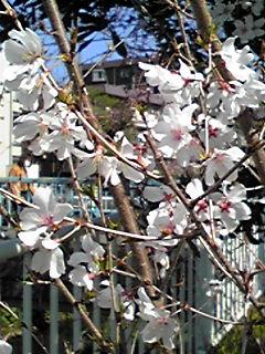 4月です!2015年4月の直さん(高橋直純)参るぞよ!(今夜も桜で直祭り〜♪)