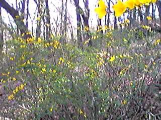 咲き始めていたヤマブキ(山吹)の花と共に直さん(高橋直純)のお知らせです♪