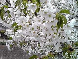 山櫻(ヤマザクラ)?大島櫻(オオシマザクラ)?それとも駿河台匂い桜(スルガダイニオイザクラ)?