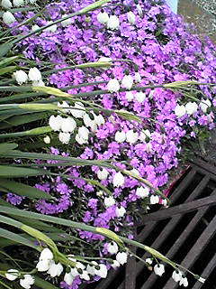芝桜(シバザクラ)と鈴蘭水仙(スズランズイセン)