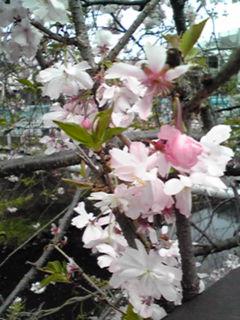 あの十月桜(ジュウガツザクラ)は今…♪