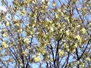 御衣黄(ギョイコウ・八重桜・牡丹桜・里桜)が咲き始めていました!
