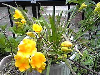 黄色いフリージア(浅黄水仙・香雪欄)が咲き始めてきました♪