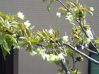 我が家のギョイコウ(御衣黄)も咲き始めましたよ♪