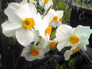甘い香りの遅咲きズイセン(水仙)「ゼラニューム」