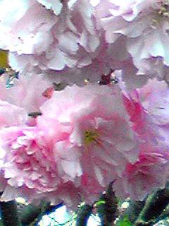 八重桜(牡丹桜、里桜)が満開に成りました!