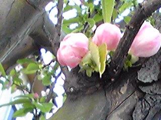 カリン(花梨)の花