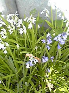 お花畑のツリガネズイセン(釣り鐘水仙)